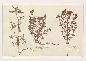 Flora der alten Welfenburg (Veitsburg bei Ravensburg)