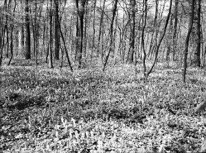 'Auenwald' = Eichen-Hainbuchenwald b[ei] Ahrbergen Frühlingsaspekt (Corydalis cava)