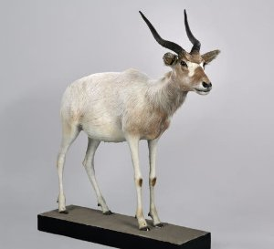 Addax nasomaculatus