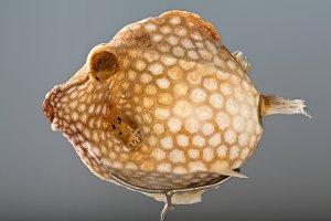 [Ostraciidae] indet. (Lactophrys bicaudalis ?)