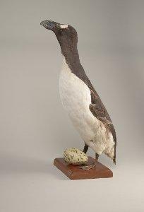 Riesenalk (Pinguinus impennis) und Ei aus Island