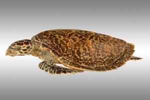 Meeresschildkröten (Cheloniidae)