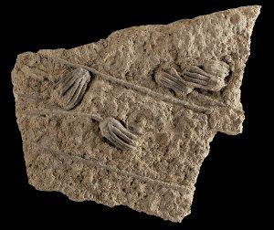 Fossile Seelilie