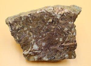Calamophyton primaevum